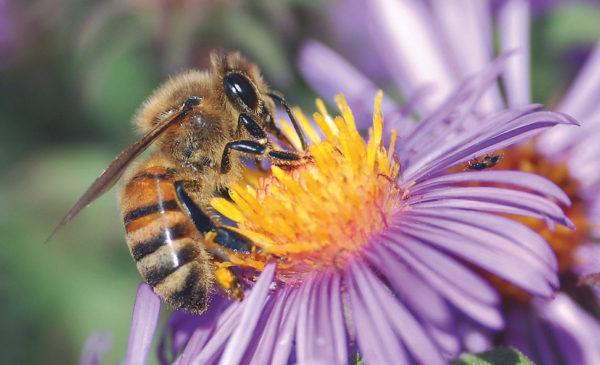 1280px-European_honey_bee_extracts_nectar